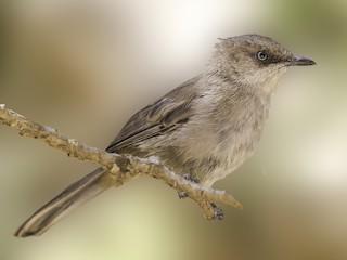 - Yemen Warbler