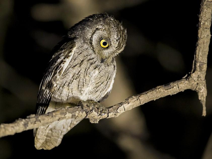 Arabian Scops-Owl - Mathias Putze