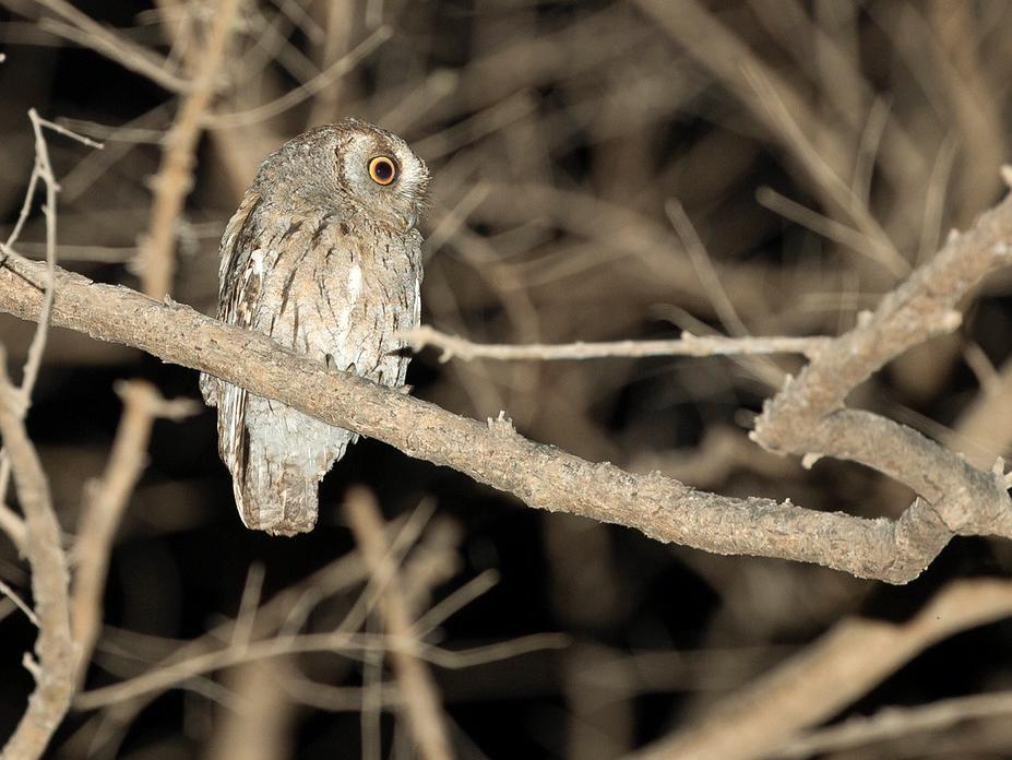 Arabian Scops-Owl - Robert Tizard