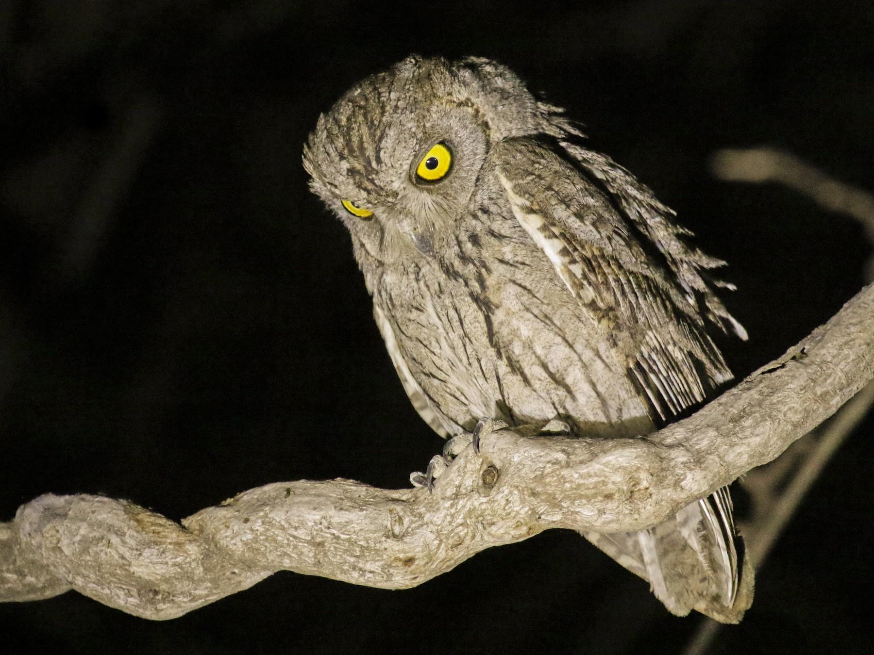 Arabian Scops-Owl - Geert Bouke Kortleve