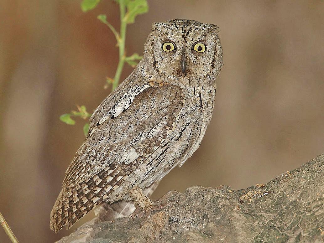 Arabian Scops-Owl - Jens Eriksen