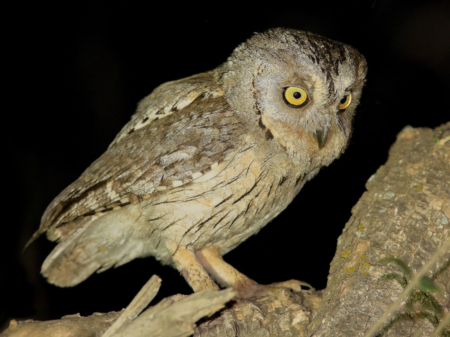 Arabian Scops-Owl - Mansur Al -Fahad