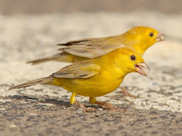 Arabian Golden Sparrow - Mansur Al -Fahad