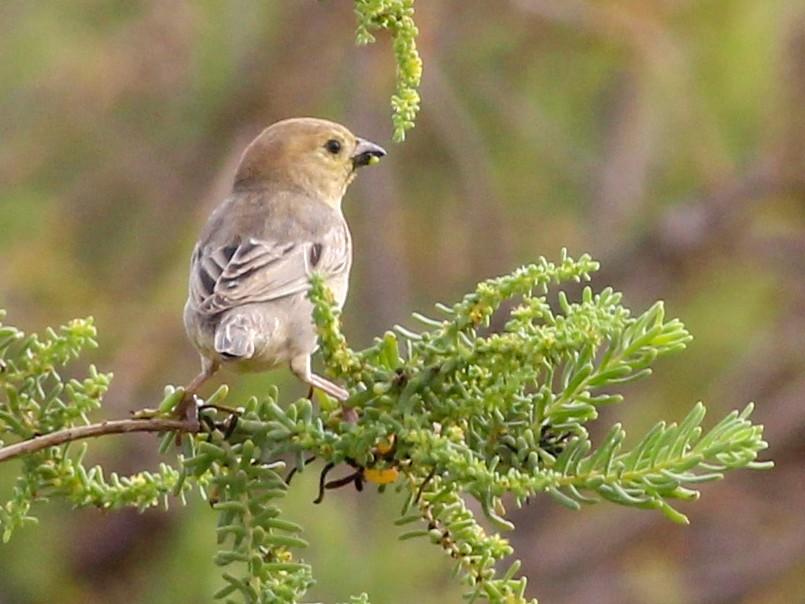 Arabian Golden Sparrow - Tyler Joyner