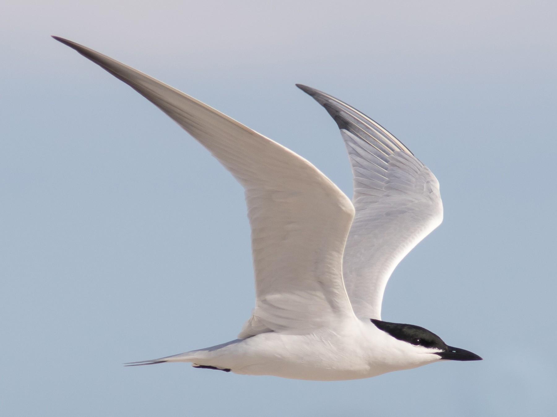 Gull-billed Tern - Jesse Amesbury