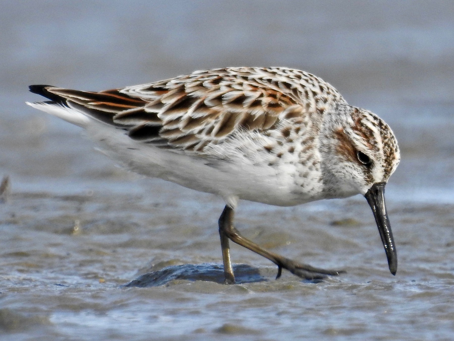 Broad-billed Sandpiper - Michael Daley
