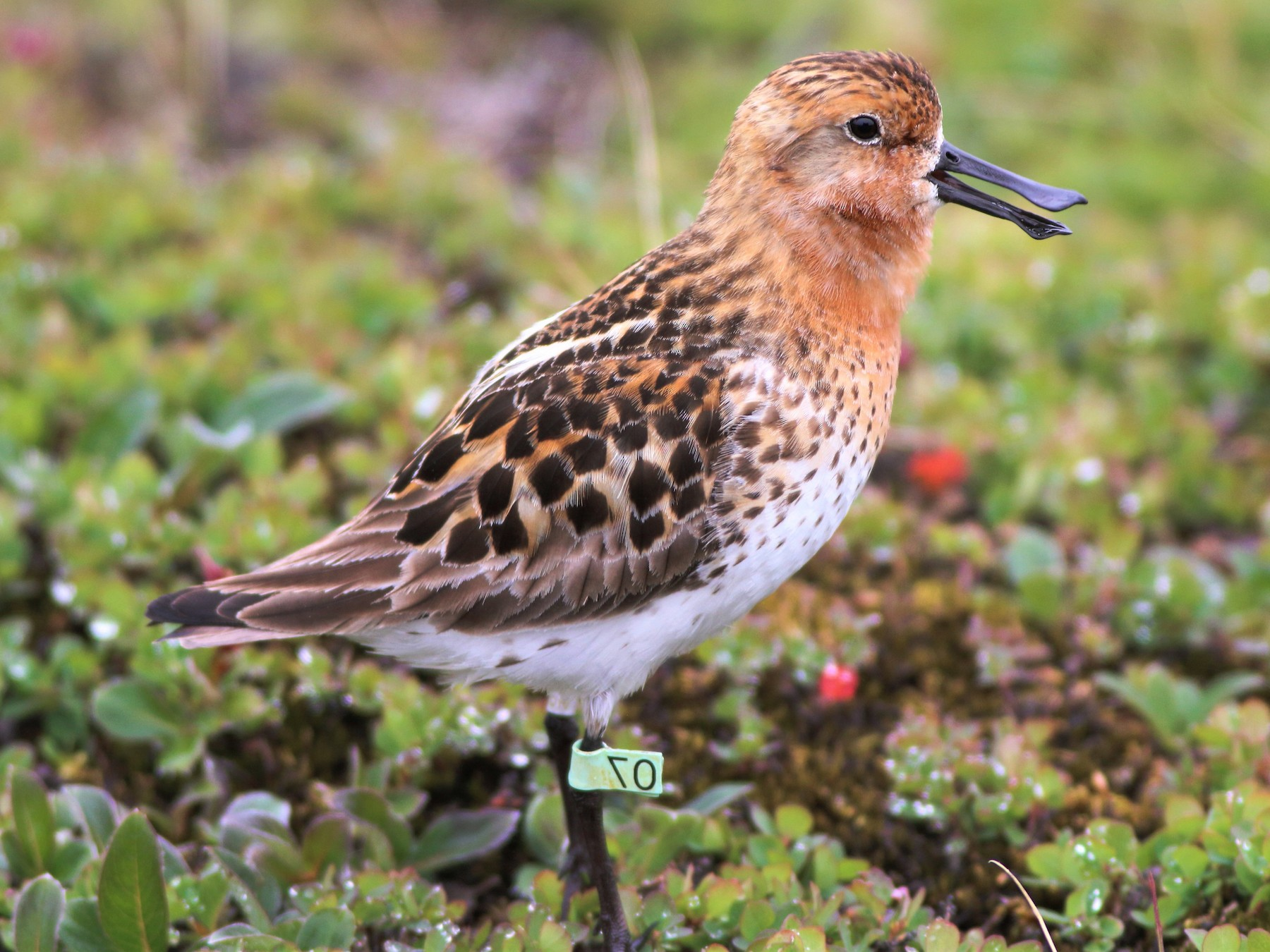 Spoon-billed Sandpiper - Wyatt Egelhoff