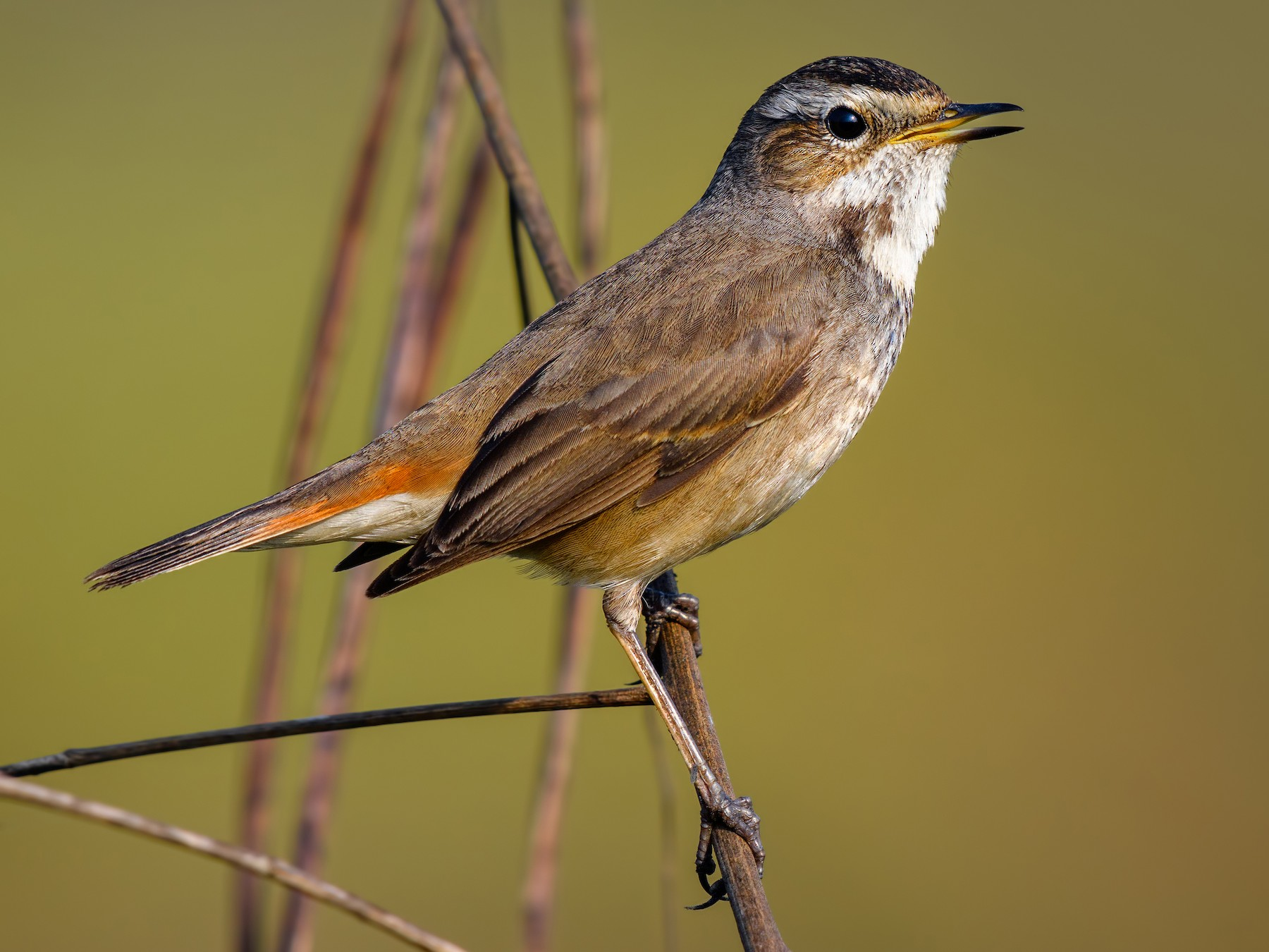 Bluethroat - Abhishek Das