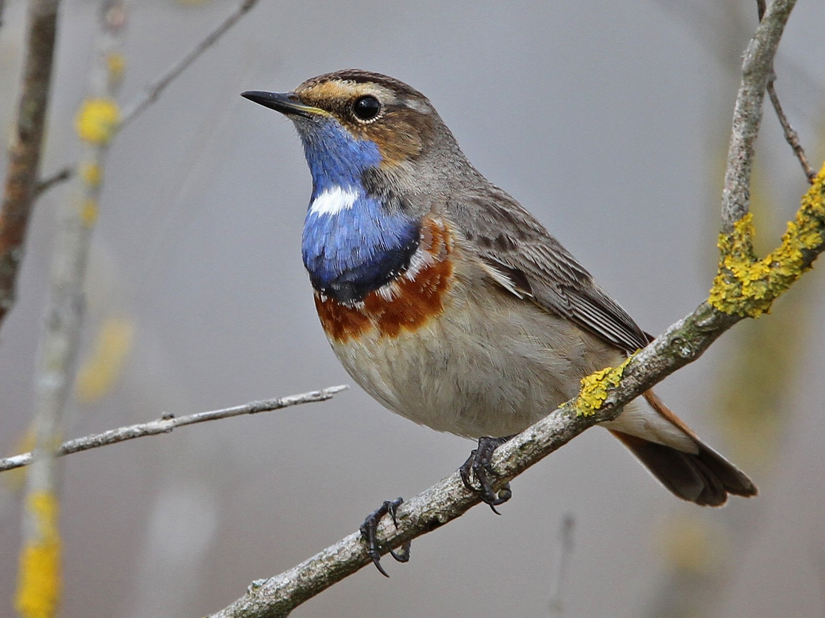 Bluethroat - Christoph Moning