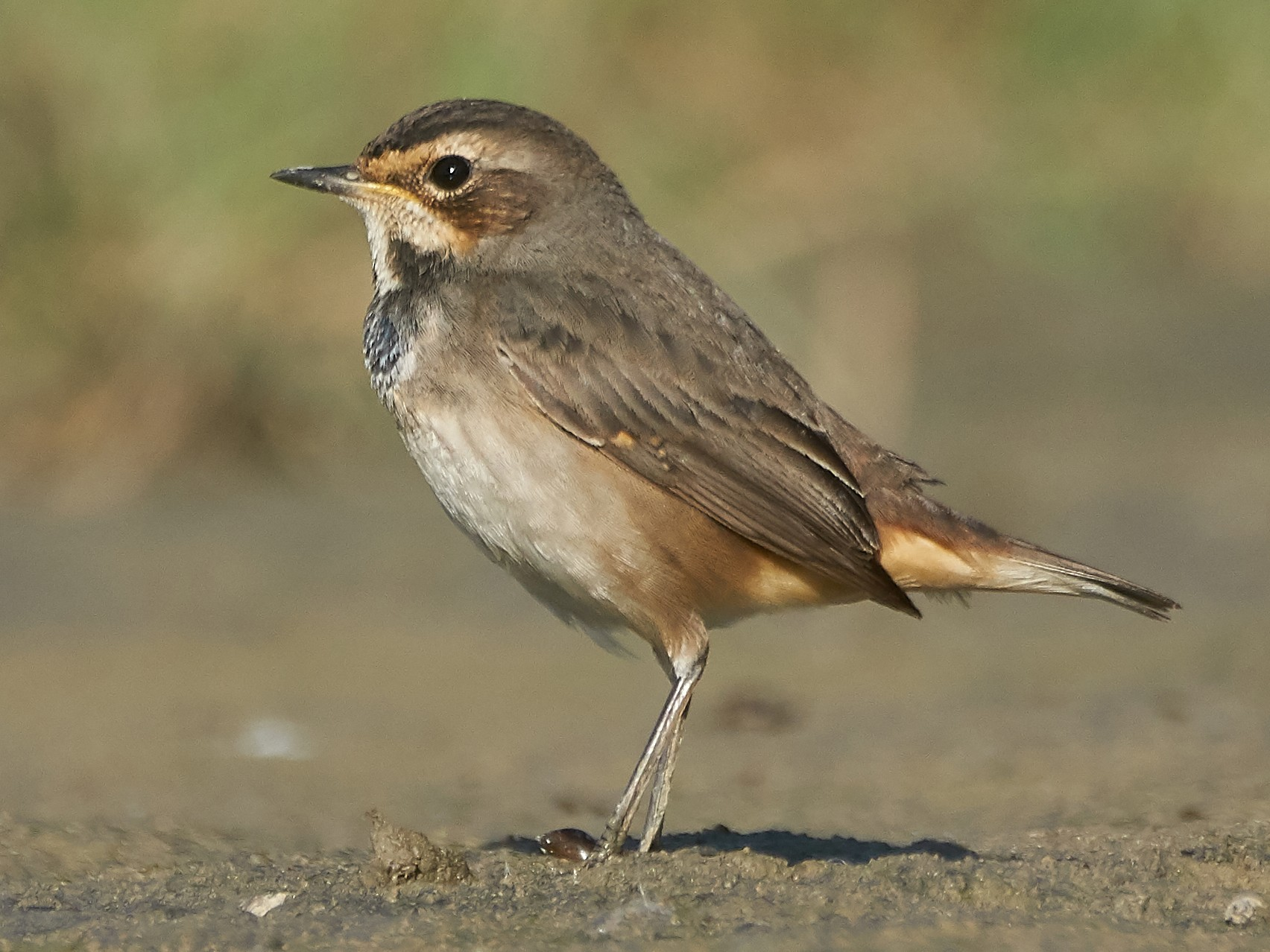 Bluethroat - Miguel Rouco