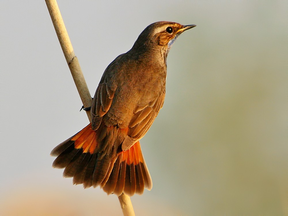 Bluethroat - Rob Belterman