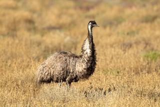 Emu, ML261543741