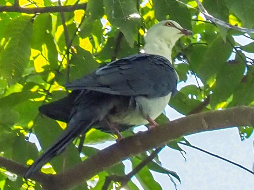 Pied Cuckoo-Dove - Stephan Lorenz