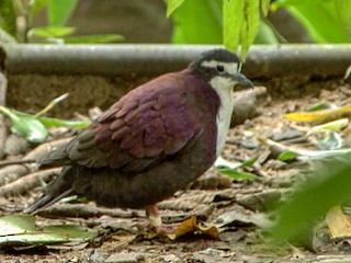 - White-bibbed Ground Dove