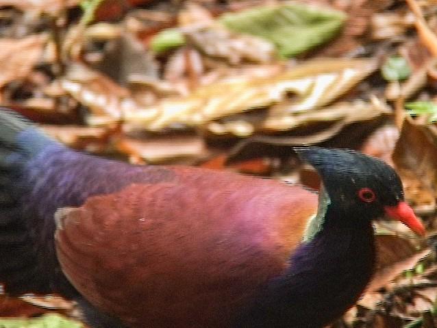 Pheasant Pigeon - Edwin Scholes