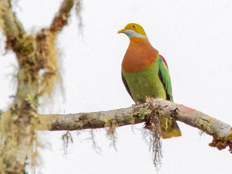 Ornate Fruit-Dove - Lars Petersson