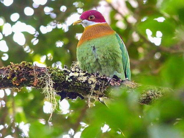 Ornate Fruit-Dove - Carlos Bocos