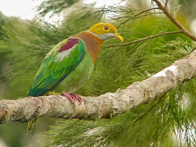 Ornate Fruit-Dove - Nik Borrow