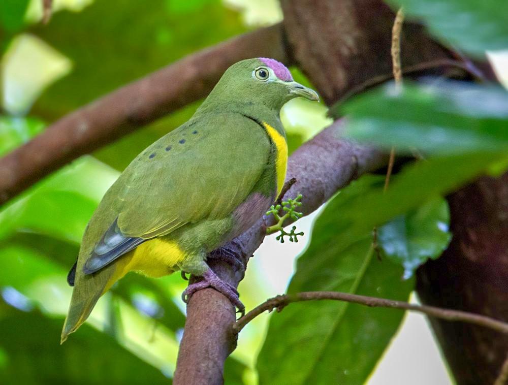 Yellow-bibbed Fruit-Dove - Lars Petersson
