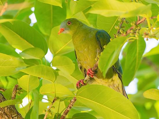 Claret-breasted Fruit-Dove - Jeroen Vanheuverswyn