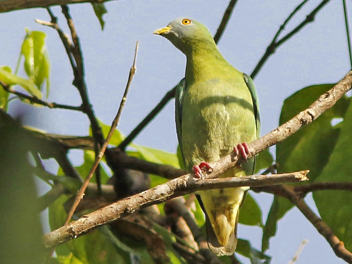 Claret-breasted Fruit-Dove - David Beadle