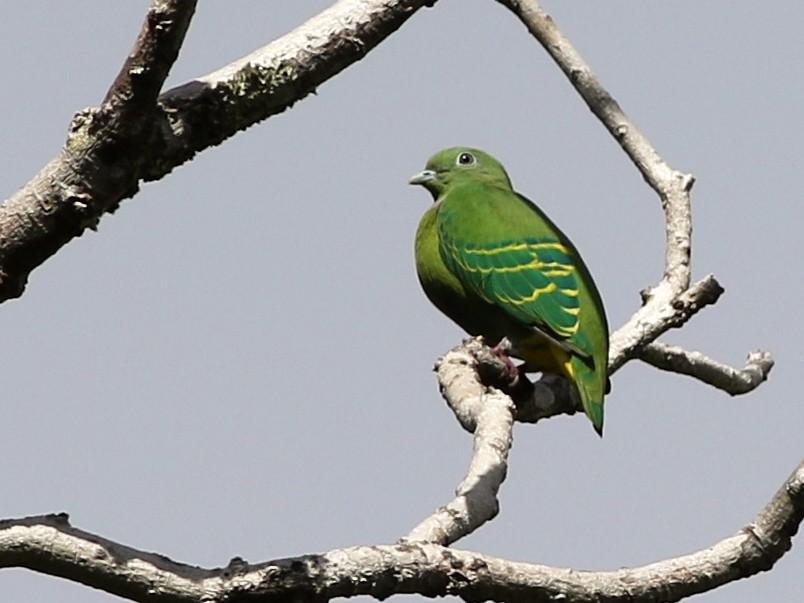 Dwarf Fruit-Dove - Chris Wiley
