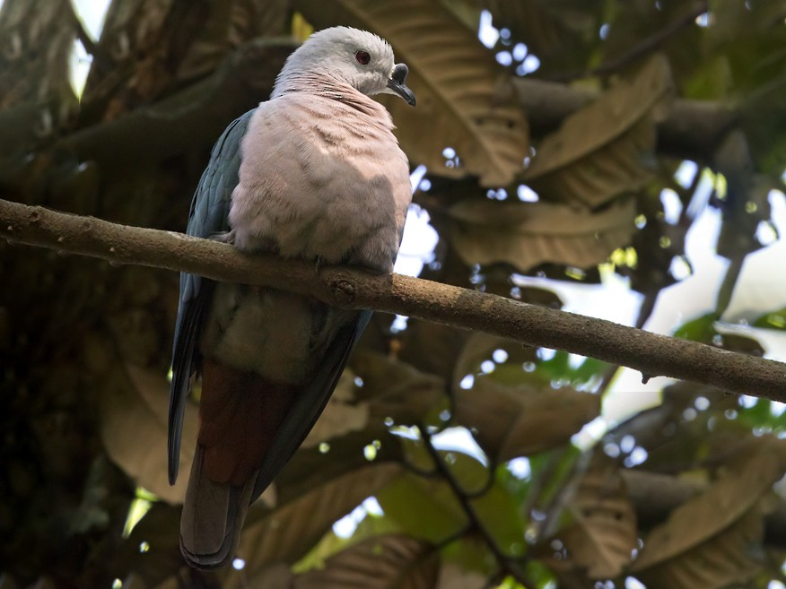 Pacific Imperial-Pigeon - Lars Petersson