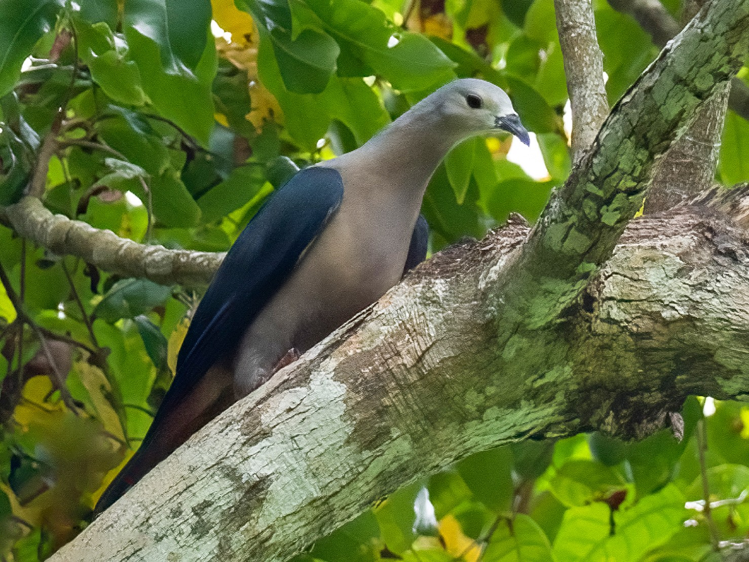 Pacific Imperial-Pigeon - Rodney Appleby