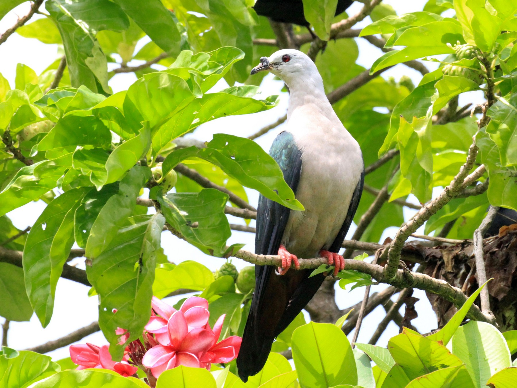 Pacific Imperial-Pigeon - Charles Davies