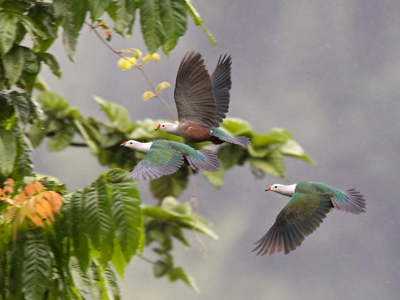 Red-knobbed Imperial-Pigeon - Lars Petersson