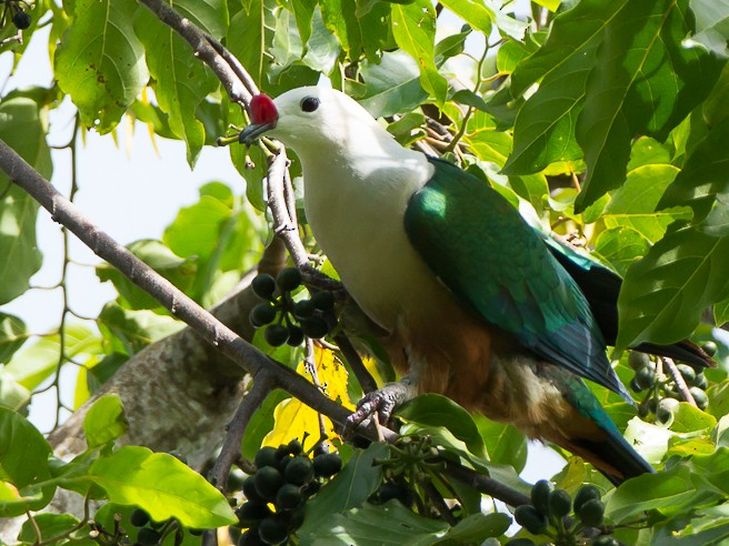 Red-knobbed Imperial-Pigeon - Frédéric PELSY