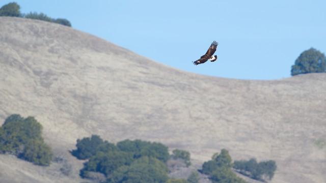 Juvenile soaring over typical oak grassland habitat in California