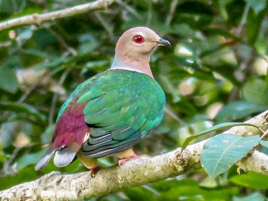 Purple-tailed Imperial-Pigeon - Wilbur Goh Soon Kit