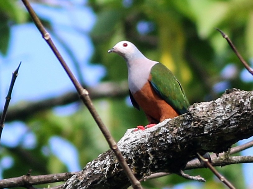 Finsch's Imperial-Pigeon - Chris Wiley