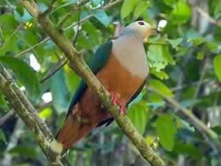 - Finsch's Imperial-Pigeon
