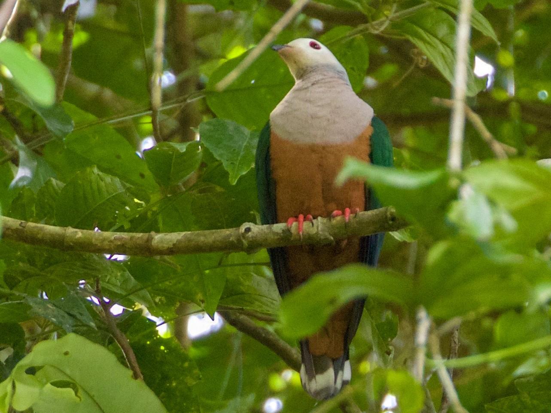 Finsch's Imperial-Pigeon - Scott Baker