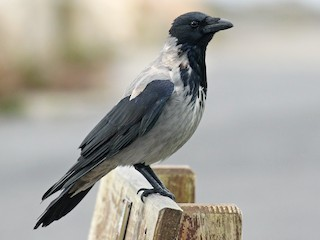 - Hooded Crow