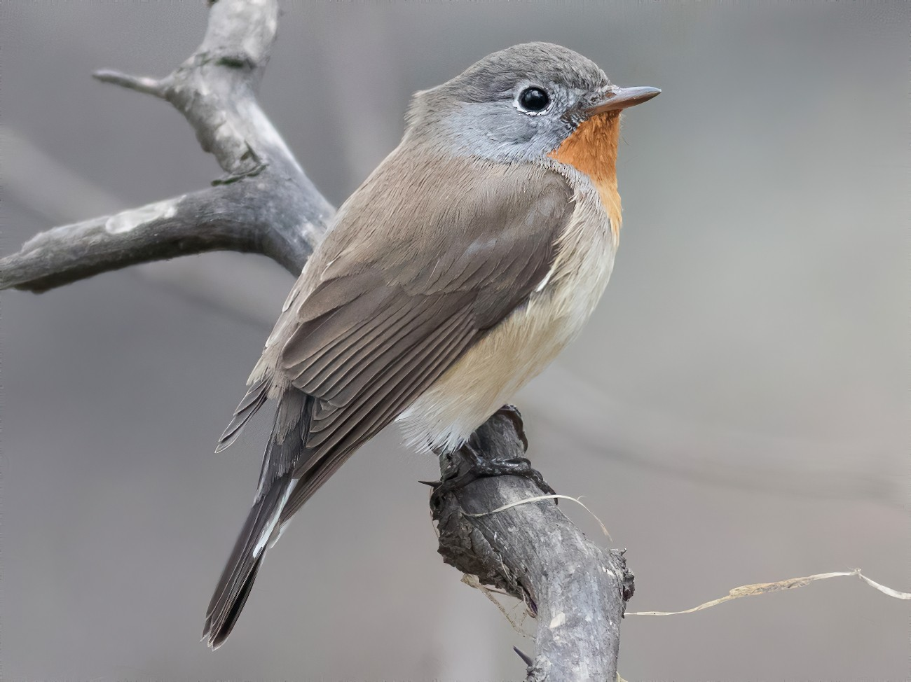 Red-breasted Flycatcher - Tom Johnson