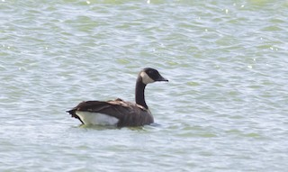 Canada Goose (canadensis Group), ML261839951