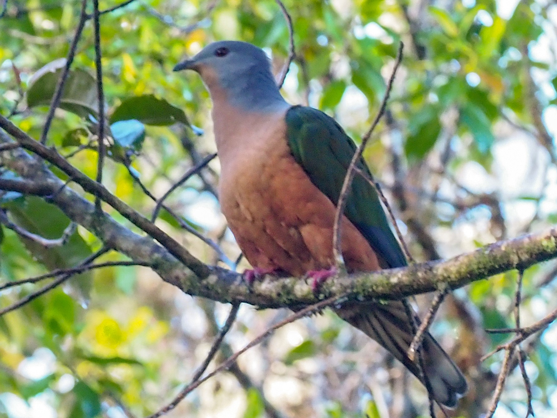 Rufescent Imperial-Pigeon - Stephan Lorenz