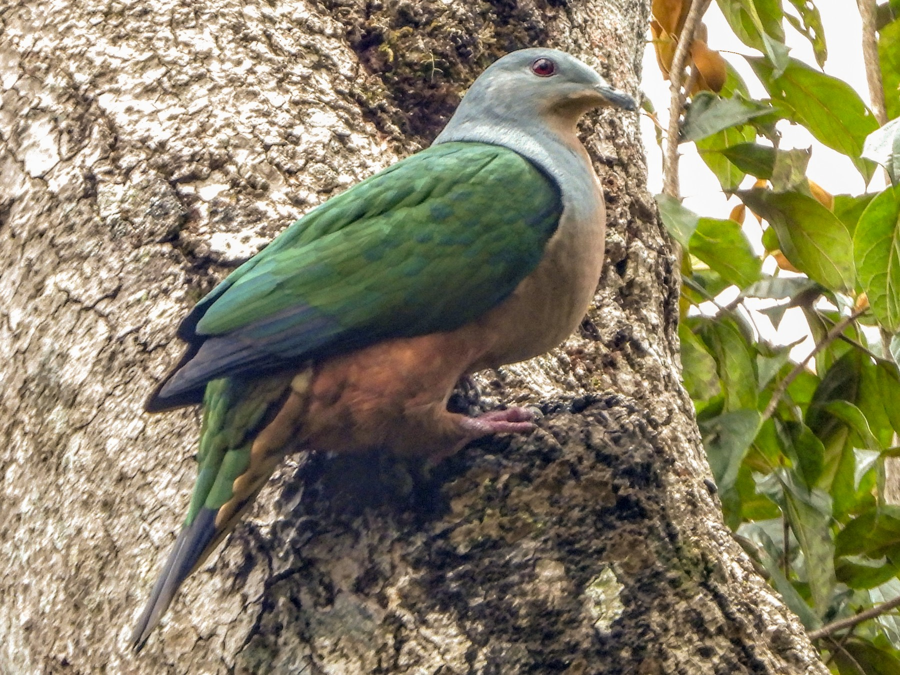 Rufescent Imperial-Pigeon - Warren Regelmann