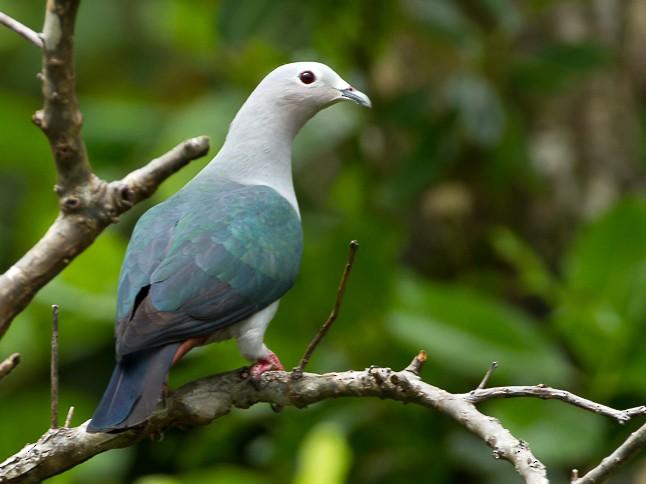 Island Imperial-Pigeon - Frédéric PELSY