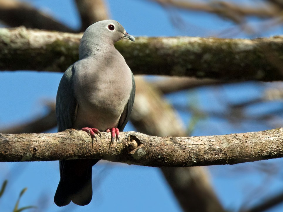 Island Imperial-Pigeon - Lars Petersson