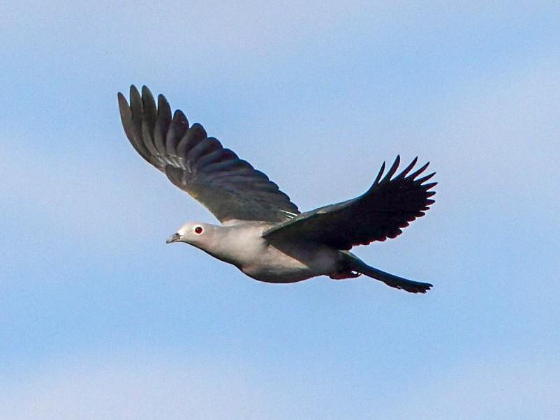 Island Imperial-Pigeon - Markus Lilje