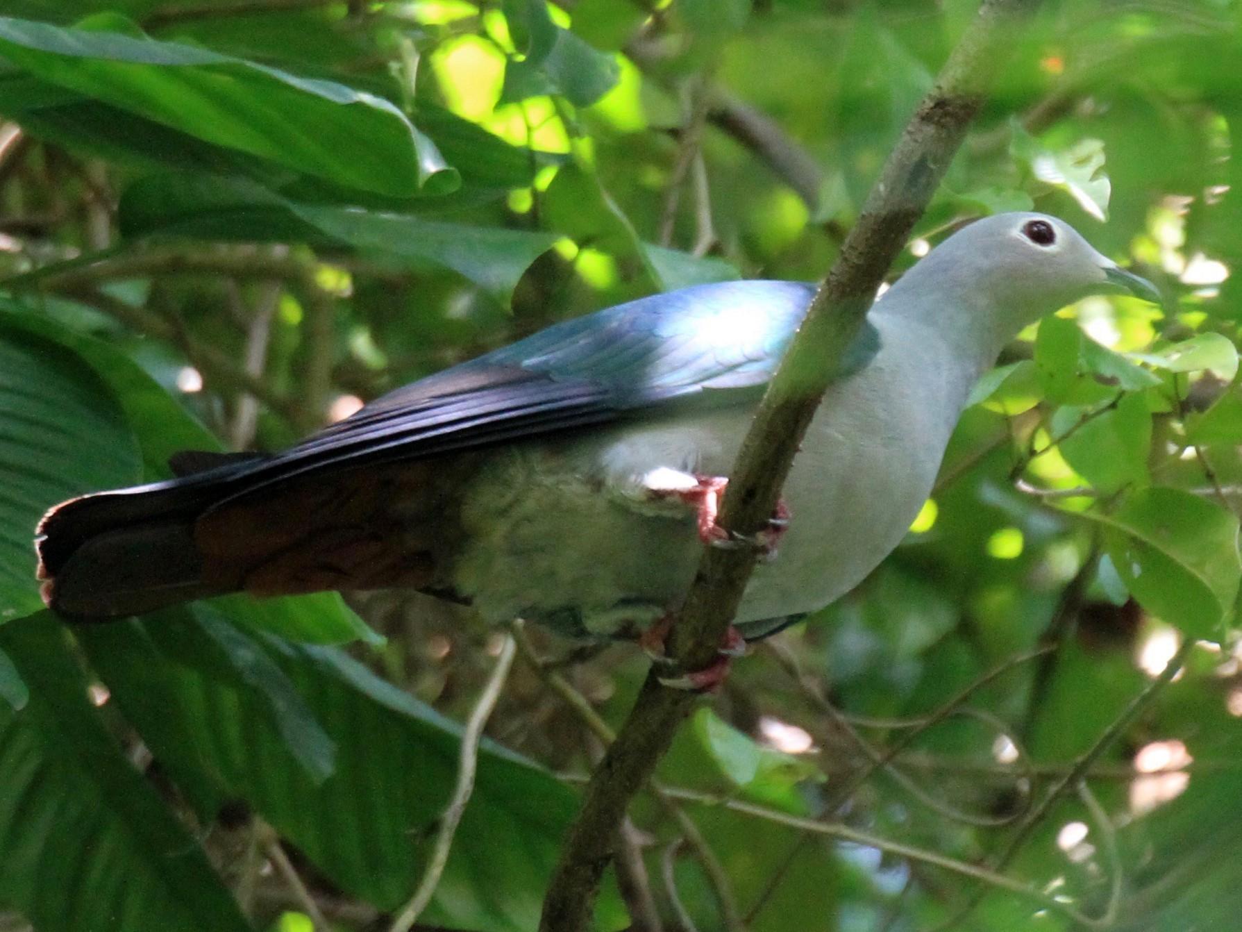 Island Imperial-Pigeon - Charles Davies