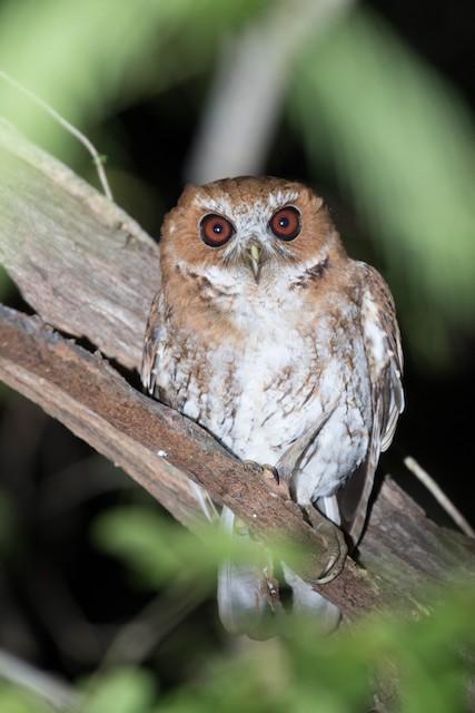 Puerto Rican Owl