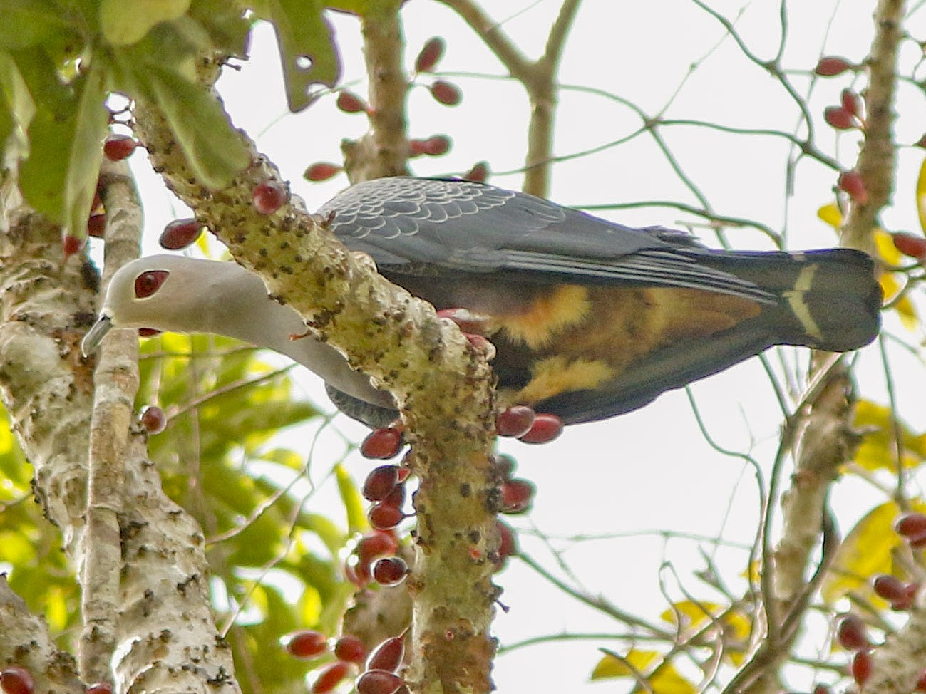 Pinon's Imperial-Pigeon - David Beadle
