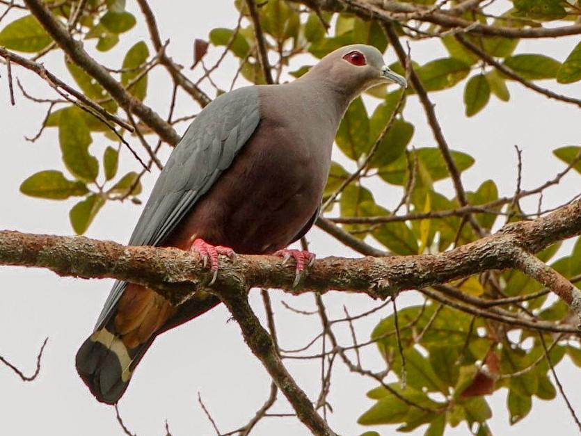 Pinon's Imperial-Pigeon - Markus Lilje