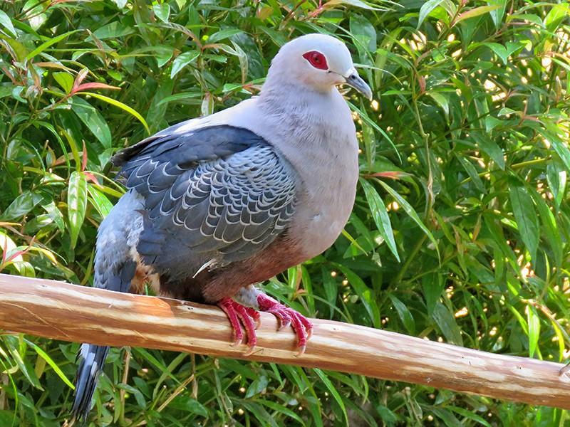 Pinon's Imperial-Pigeon - Joseph Morlan