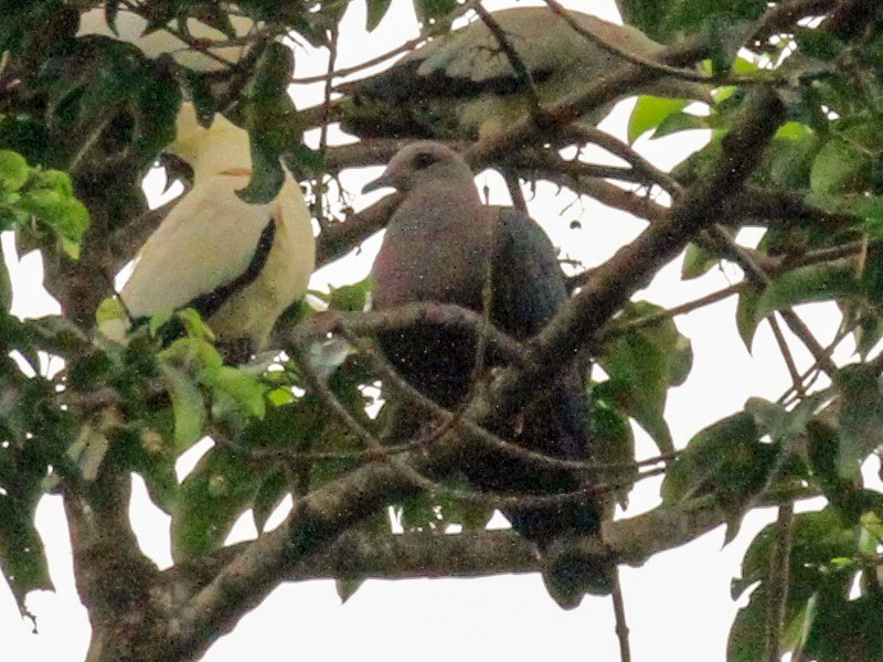 Pinon's Imperial-Pigeon - Charles Davies